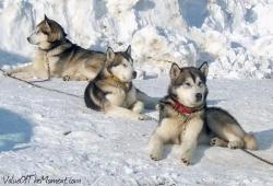 Three-Alaskan-Malamute-In-Winter-Picture-1300x908