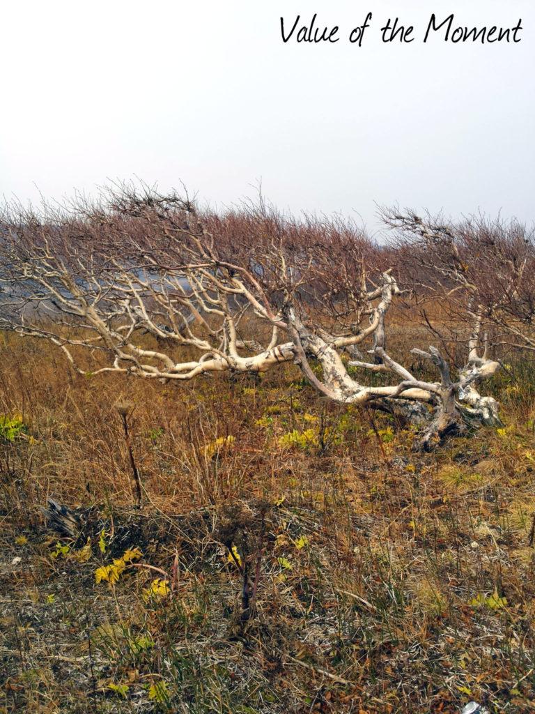 Deformated birch, Russia, Kamchatka, Petropavlovsk Kamchatskiy