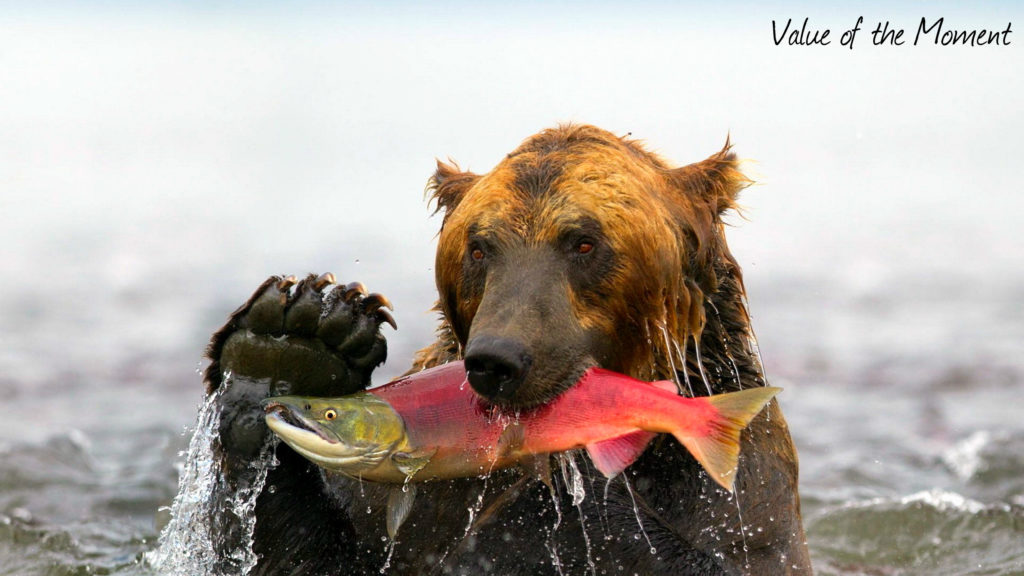 Bear eats salmon fish, Kamchatka, Russia